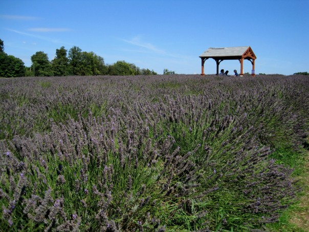 Purple haze: Run through fields of lavender at Mayfield Farm