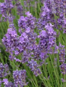 Mayfield lavender field © Memoirs Of A Metro Girl 2018