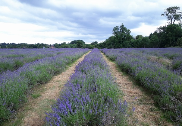 Mayfield lavender field © Memoirs Of A Metro Girl 2018