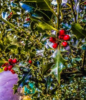 Christmas Holly bush © Memoirs Of A Metro Girl 2018